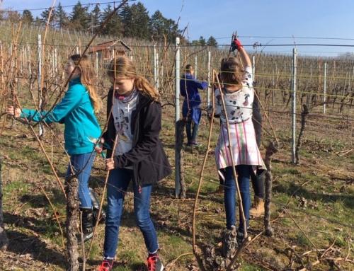 Die Klassen 6 schneiden Reben im Rahmen des Weinbauprojekts